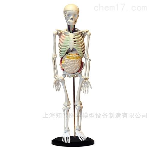 85cm人体骨骼与内脏关系模型