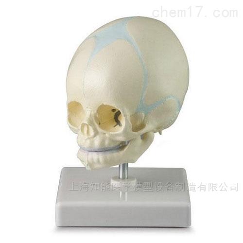 新生儿头颅骨骼模型