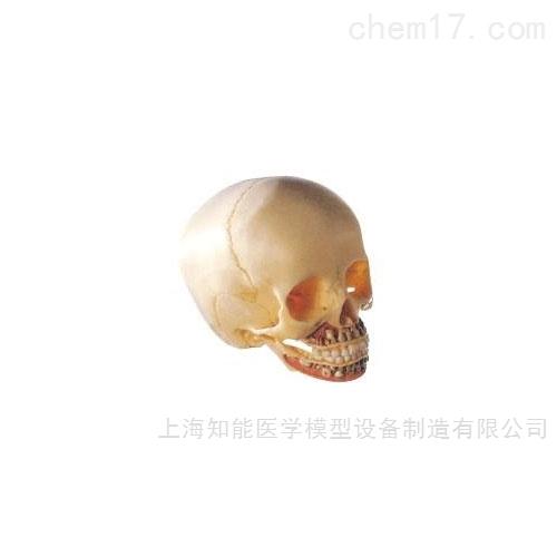 儿童头颅骨骨骼模型