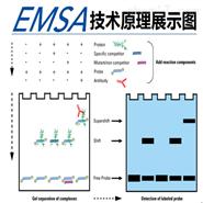 凝膠遷移或電泳遷移率EMSA流程及交付標準