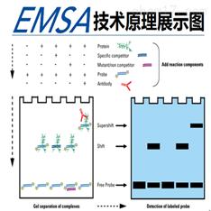 凝胶迁移或电泳迁移率EMSA流程及交付标准