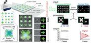 高通量細胞力量測試分析裝置-收縮力測試
