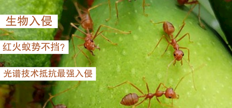 紅火蟻勢不可擋?光譜技術以科技抵抗最強入侵