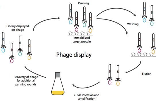 单域抗体文库构建;Single Domain Antibody Library